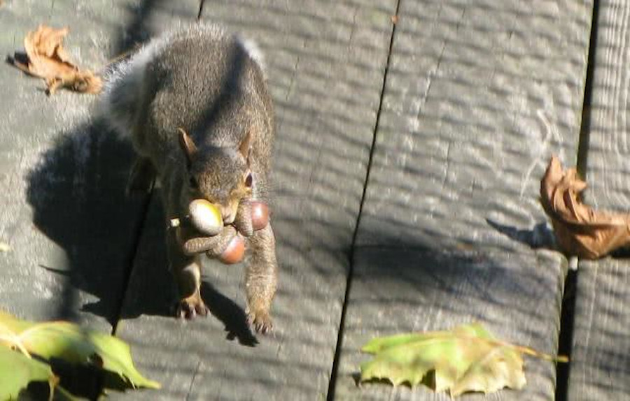 Idea Acorn Thief Squirrel